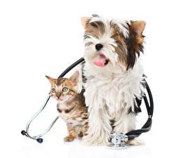 Картинки Собака Коты 2 Котят Йоркширский терьер Белый фон животное