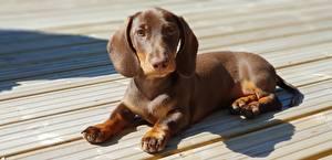 Картинка Собаки Такса Щенки Доски Лежа Коричневая Лапы животное