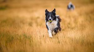 Картинка Собака Поля Бордер-колли животное