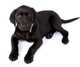Картинки Собака Лабрадор-ретривер Щенки Белом фоне Черная Смотрит Лап животное