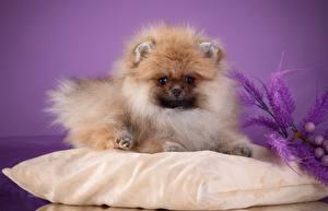 Картинка Собаки Шпиц Подушка Пушистый животное