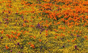 Фотографии Поля Мак Лютик Lancaster Природа Цветы