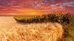 Картинки Поля Рассвет и закат Подсолнухи Пшеница Природа