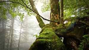 Картинки Лес Тумане Ствол дерева Мха Природа