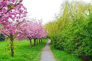 Картинка Сады Цветущие деревья Весна Трава Тропы Сакуры Природа