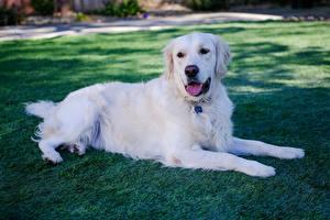 Фото Золотистый ретривер Собака Траве Белая Лежа Лап животное