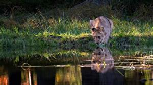 Обои Львы Детеныши Озеро Пьет воду Отражение животное