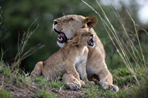 Обои Львы Львица Детеныши 2 Милая Животные