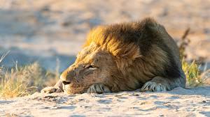 Картинки Львы Спят Песок животное