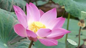 Фото Лотос Вблизи Розовая Цветы