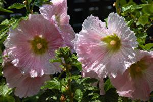 Фотографии Мальва Вблизи Розовые Капель Цветы
