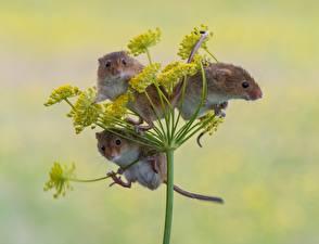 Фотография Мыши Трое 3 Eurasian harvest mouse