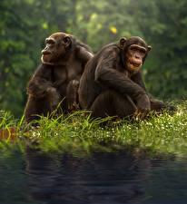 Фотография Обезьяны Трава Двое Сидит Chimpanzee Животные