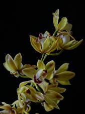 Картинка Орхидеи Крупным планом Черный фон Желтые
