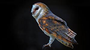 Картинки Совообразные На черном фоне Barn owl Животные