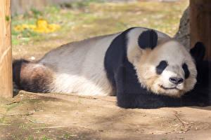 Обои для рабочего стола Бамбуковый медведь Морды спящий