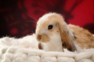 Картинка Кролики Головы