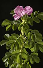 Фото Роза На черном фоне Ветвь Розовая цветок