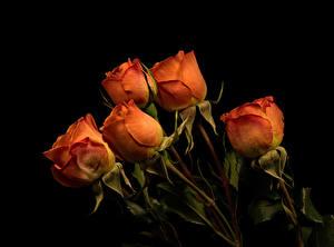 Фотография Роза На черном фоне Оранжевая цветок