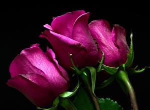 Фото Розы Вблизи Черный фон Трое 3 Фиолетовый цветок