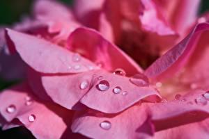 Картинка Роза Крупным планом Розовые Лепестков Капельки Цветы