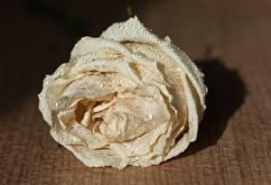Картинка Розы Вблизи Белых Капли Цветы