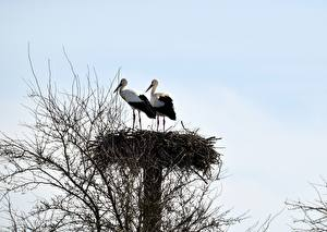 Фото Аисты Птицы Гнездо Ветки Двое Животные