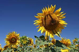 Картинка Подсолнечник Поля Цветы