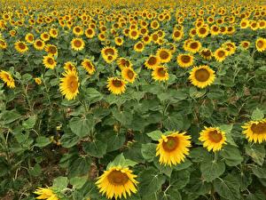 Фото Подсолнечник Много Поля цветок