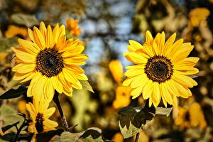 Обои Подсолнухи Двое Желтый Цветы картинки
