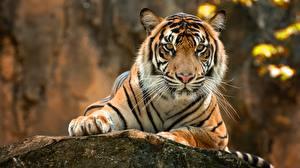 Фото Тигры Взгляд Лапы Усы Вибриссы