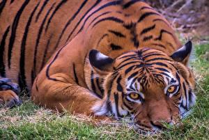 Картинка Тигр Лежит Смотрит