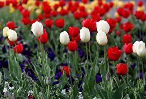 Фото Тюльпан Много Красный Белая Цветы