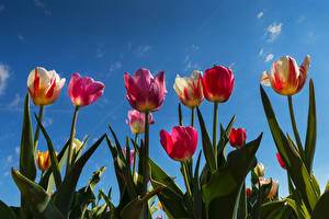 Обои Тюльпан Небо Вид снизу цветок