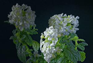 Обои для рабочего стола Вербена Черный фон Белых Цветы