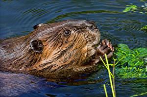 Фотография Воде Морды beaver животное