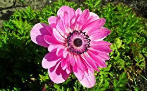 Фото Ветреница Вблизи Розовых Цветы