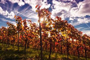 Фотография Осенние Небо Кусты Лучи света Облака Vineyard Природа
