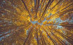 Фотография Осенние Дерево Ствол дерева Вид снизу aspen