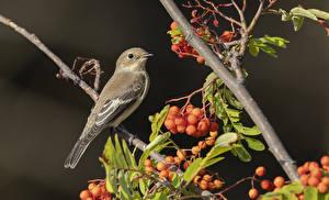 Картинки Ягоды Птица Сером фоне Ветвь European pied flycatcher, female, Ficedula hypoleuca животное