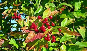 Фотографии Ягоды Лист Красные guelder rose Viburnum Продукты питания
