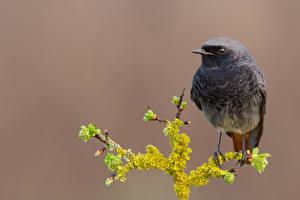 Фотографии Птица Ветвь Black redstart, Phoenicurus ochruros животное