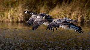 Фотография Птицы Летящий Трое 3 Canada goose Животные
