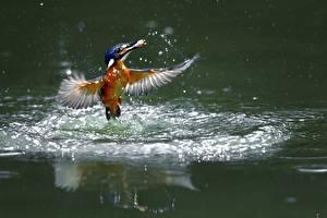Фотографии Птицы Обыкновенный зимородок С брызгами Животные