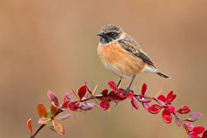 Фотографии Птица Ветвь European stonechat, Male животное