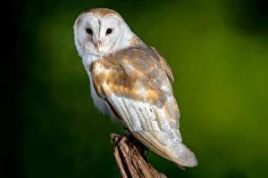Обои Птица Сова Размытый фон barn owl животное