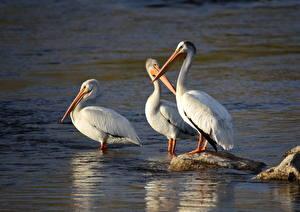 Фотография Птицы Камни Пеликаны Трое 3 American White Pelican