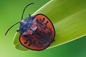 Фотография Жуки Крупным планом Макро Leaf beetle Животные