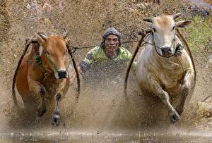Обои Бык Бегущая С брызгами Traditional bull race Животные
