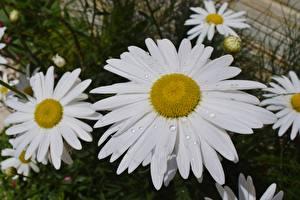 Фото Ромашки Крупным планом Капля Цветы